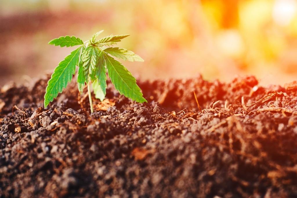 Gesunde Hanfpflanzen